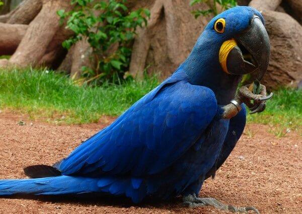 guacamayo azul descripción